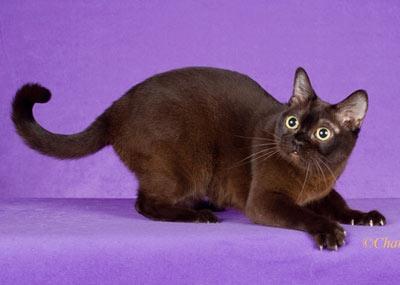 Какая порода коричневых котов